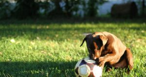 Pooch Steals Soccerball And Showcases His Skills