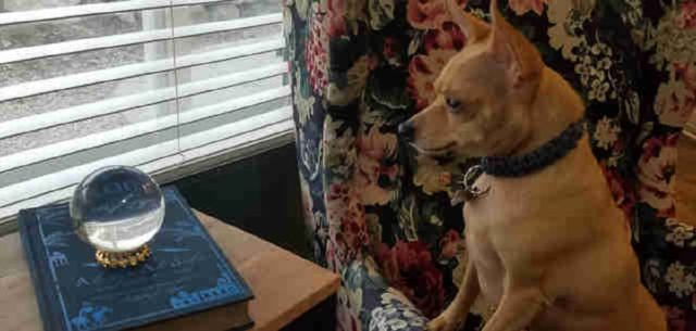 Tiny Chihuahua Puppy Gets Mesmerized With The Crystal Ball Mom Bought