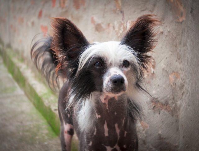 Chase, Britain's Ugliest Dog, Dies