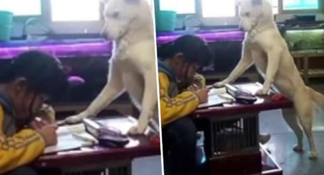 Dog Helps Girl To Focus On Her Homework