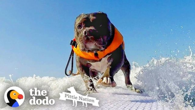This Rescued Deaf Pit Bull Learned How To Surf