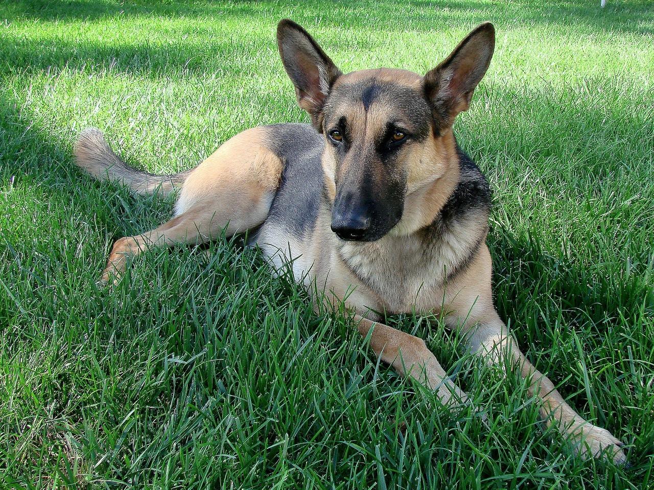 dog, german shepherd, pet