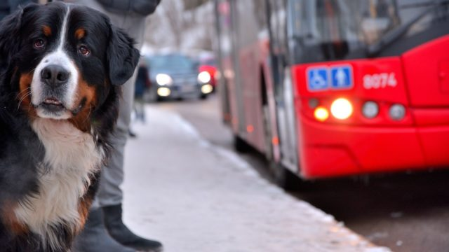 Dog rides bus alone every day