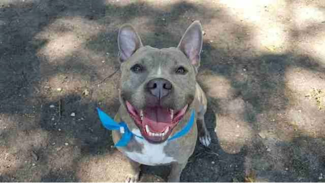 Pit Bull With The Sweetest Smile Has Been Searching For A Home For More Than 2 Years Now