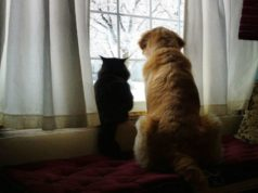 Golden Retriever and cat are best friends