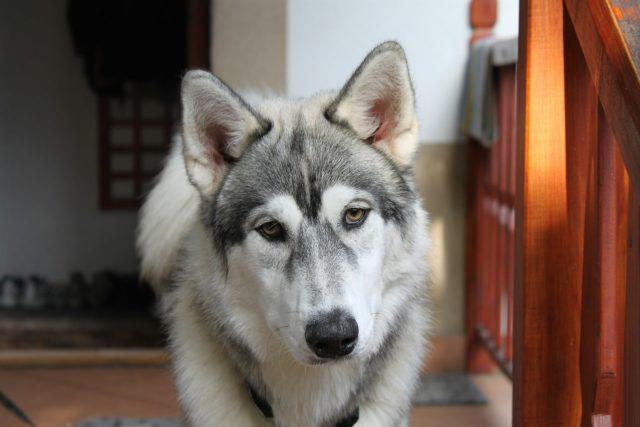 Watch A Siberian Husky Have A Tantrum