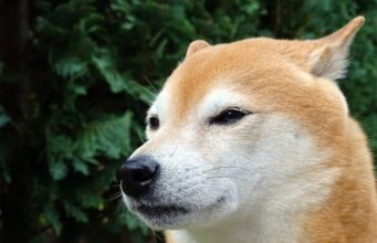 This Perpetually Grumpy Shiba Inu Makes Everyone Smile