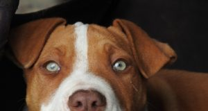 The pit bull who has a knack for hiking