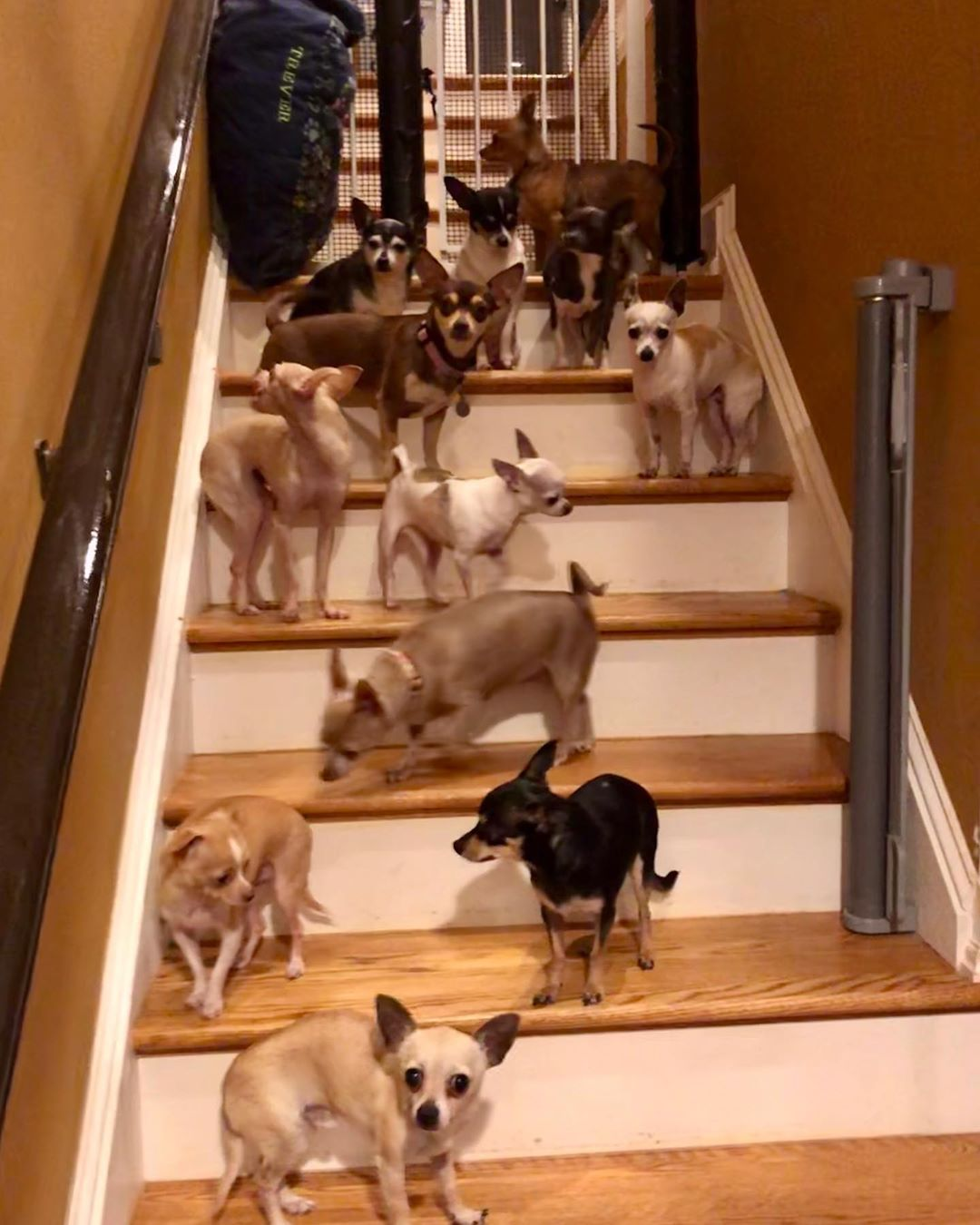 Some of the chihuahuas that Bobby has rescued