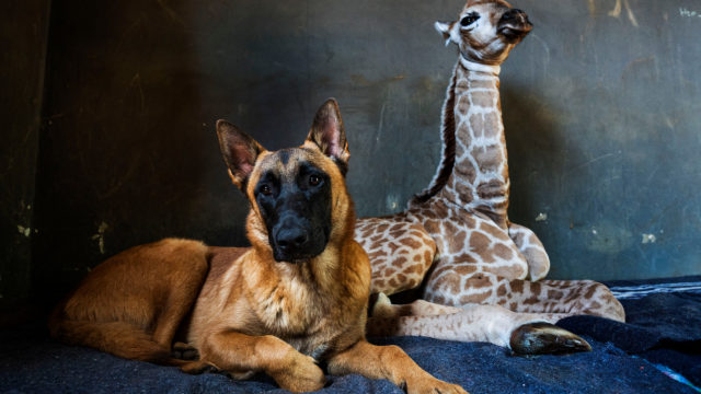 Dog Watches Over Abandoned Giraffe