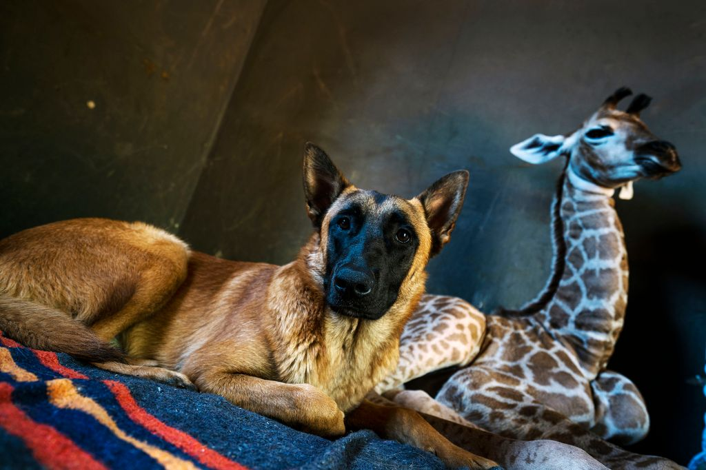 Friendship between dog and giraffe
