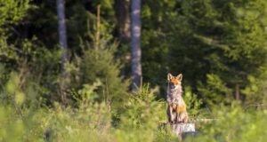 Woman Unknowingly Raised A Fox As A Dog