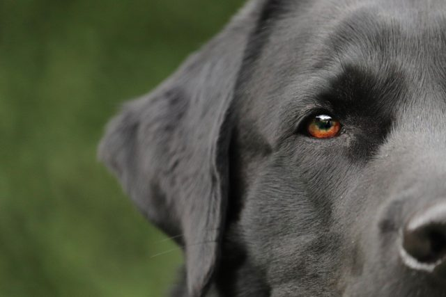 Labrador almost put down but dog whisperer came to the rescue
