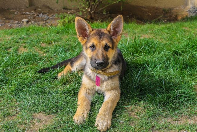 The Perfect Job For This Kind German Shepherd