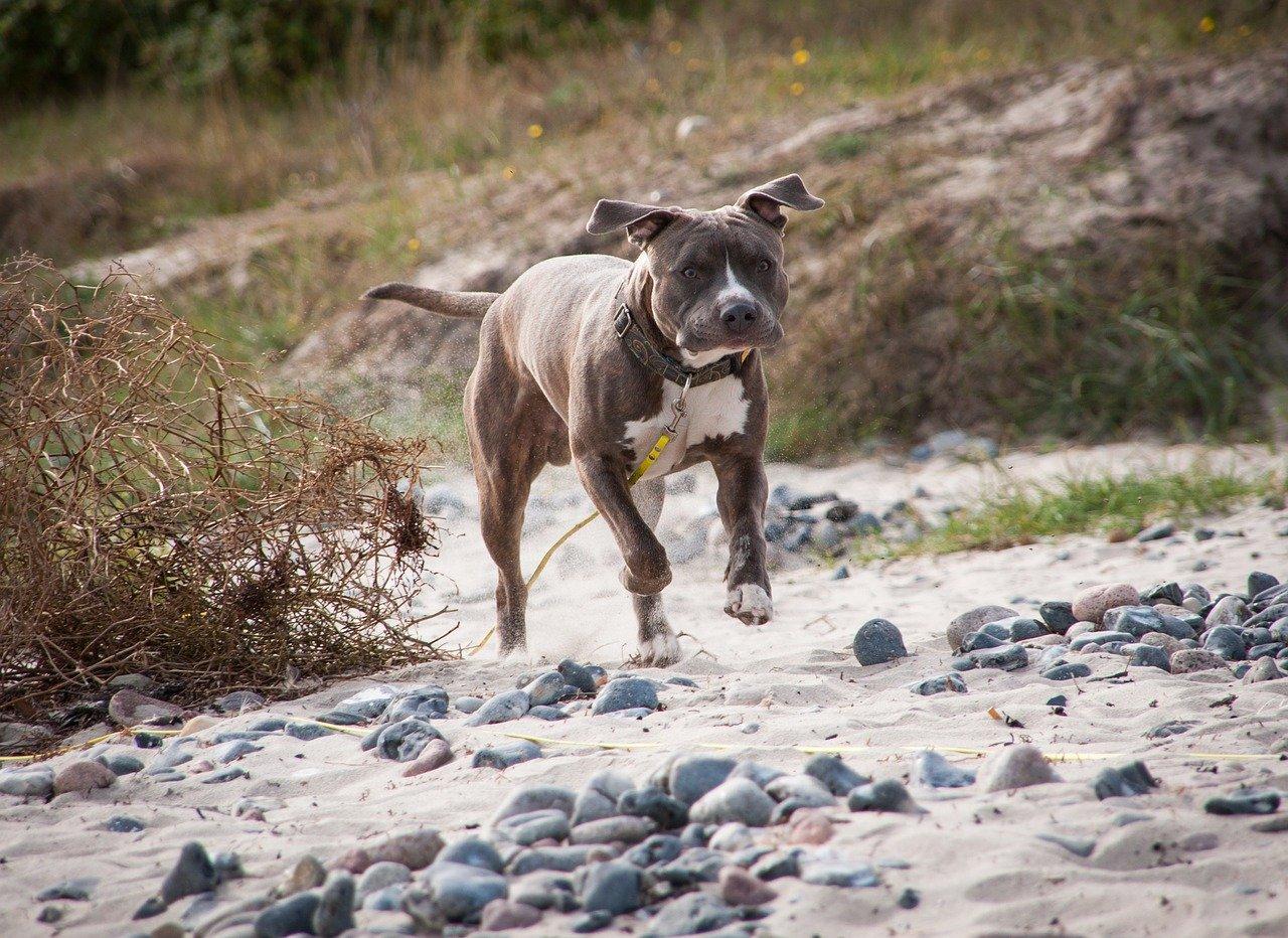 amstaff, dog, beach