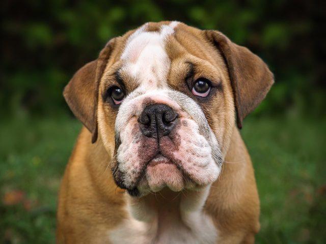 English Bulldog Feeling Down Amid The Coronavirus Lockdown