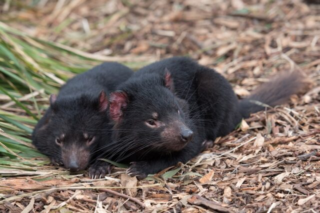 Dogs Detect When Tasmanian Devils Are Ready To Breed