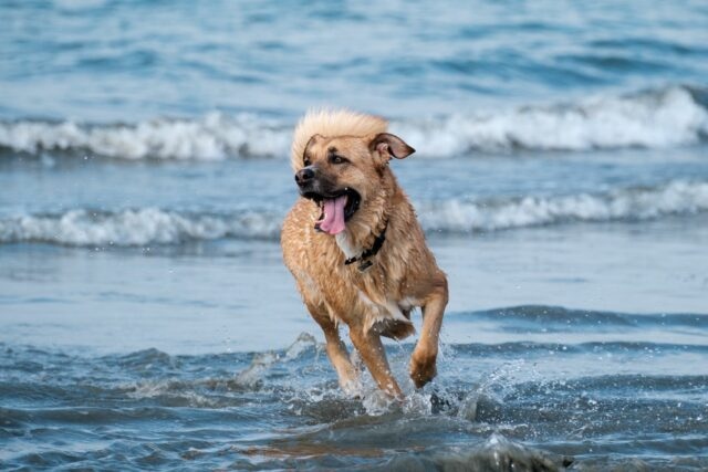 a dog having fun playing in the waves at Rosie's Dog Beach